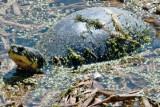 Blanding's turtle (Emydoidea blandingi)