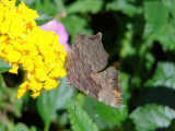 Grey Comma on Lantana (Polygonia progne)