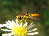 Hover Fly (Syrphid sp.)