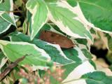 Large Yellow Underwing  (Noctua pronuba) Hodges #11003.1