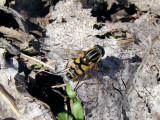 Narrow-headed Sun Fly (Helophilus fasciatus)
