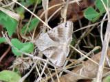 Clover Looper (Caenurgina crassiuscula) Hodges #8738