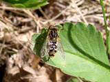 Hover Fly (Lejops sp.)