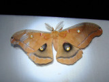 Polyphemus Moth (Antheraea polyphemus) Hodges #7757