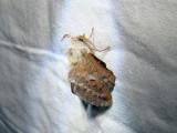 Lappet Moth  (Phyllodesma americana) Hodges #7687