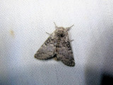 Closebanded Yellowhorn  (Colocasia propinquilinea)Hodges #9185