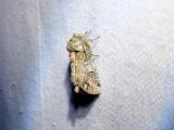 Unicorn Caterpillar Moth (Schizura unicornis)Hodges #8007
