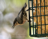 pygmy nut on suet