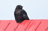 Crow on the roof DSC_4982-1.jpg
