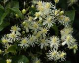 Wilde clematis, Clematis vitalba, fam. Ranunculaceae