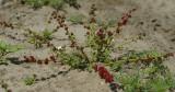 Aardbeispinazie,  Chenopodium capitatum syn.  Blitum virgatum