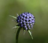 Blauwe knoop in knop, Succisa pratensis
