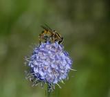 Blauwe knoop in bloei, Succisa pratensis