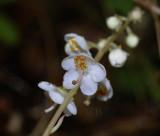 Rondbladig wintergroen, pirola rotundifolia