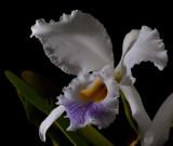 Cattleya gaskelliana var. coerulea, close