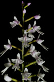Stenoglottis zambesiana