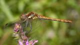 Sympetrum striolatum, bruinrode heidelibel man jong