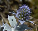 Zeedistel bloemen, Eryngium maritimum
