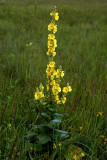 Koningskaars, Verbascum thapsus