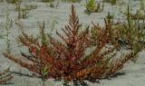 Rode ganzevoet, habitat,  Chenopodium rubrum