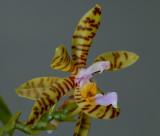 Phalaenopsis fasciata, 4 cm