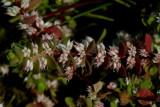 Grondster, Illecebrum verticillatum, bloempjes 2 mm, Anjerfamilie