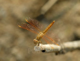Brachythemis contaminata, immature male
