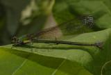 Vestalis smaragdina, female