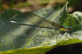 Vestalis smaragdina , male