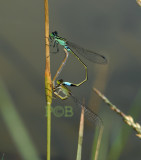 Ischnura senegalensis, mating