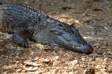 Crocodile, close, Crocodylus siamensis