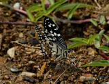 Sucking minerals on the riverbank, Papilio demoleus