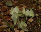 Puddling, Catopsilia pomona