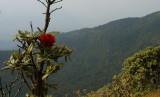 Rhododendron borealis var. Wallichii