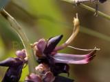 Mucuna pruriens, close-up