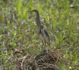 Heron, Ardeola speciosa