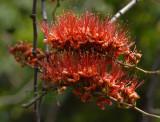 Monky flower tree close-up, Phyllocarpus septentrionalis