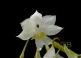 Diaphananthe sp.   flower 1 cm