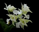 Dendrobium forbesii