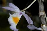 Dendrobium gratiotissimum variety semi alba