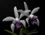 Cattleya intermedia coerulea, rare in the wild
