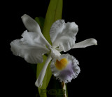 Cattleya mendelii coerulea 'pontus'