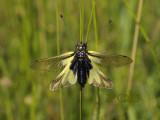 Owlfly -  Ascalaphus libelluloides, oud en iets verbleekt