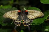 Papilio memnon, female