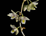 Dendrobium linearifolium, flowers 1½  cm across