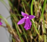 Neolauchea pulchella, flower 1 cm