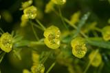 Heksenmelk, Euphorbia esula