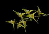 Trichosalpinx chamaelepanthes, flowers 12 mm across