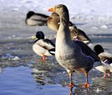 Grauwe gans en IJslandse eenden