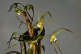 Dendrobium tetragonum var. hayesianum